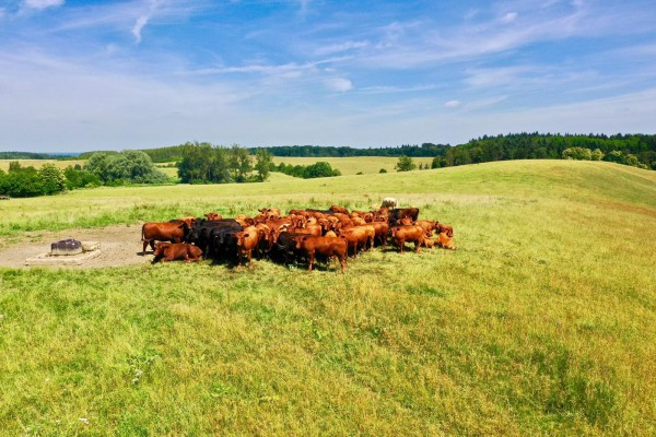 nachhaltiges-fleisch-rinder-in-klepelshagen